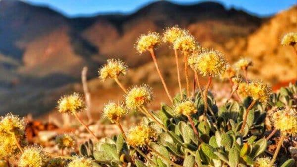 File photo provided by the Center for Biological Diversity, shows the rare desert wildflower Tiehm's buckwheat in the Silver Peak Range about 120 miles southeast of Reno, Nevada. (AP)
