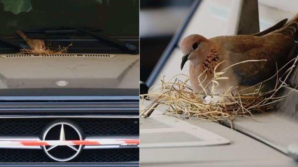 Bird warming eggs on Dubai's Crown Prince's Mercedes SUV