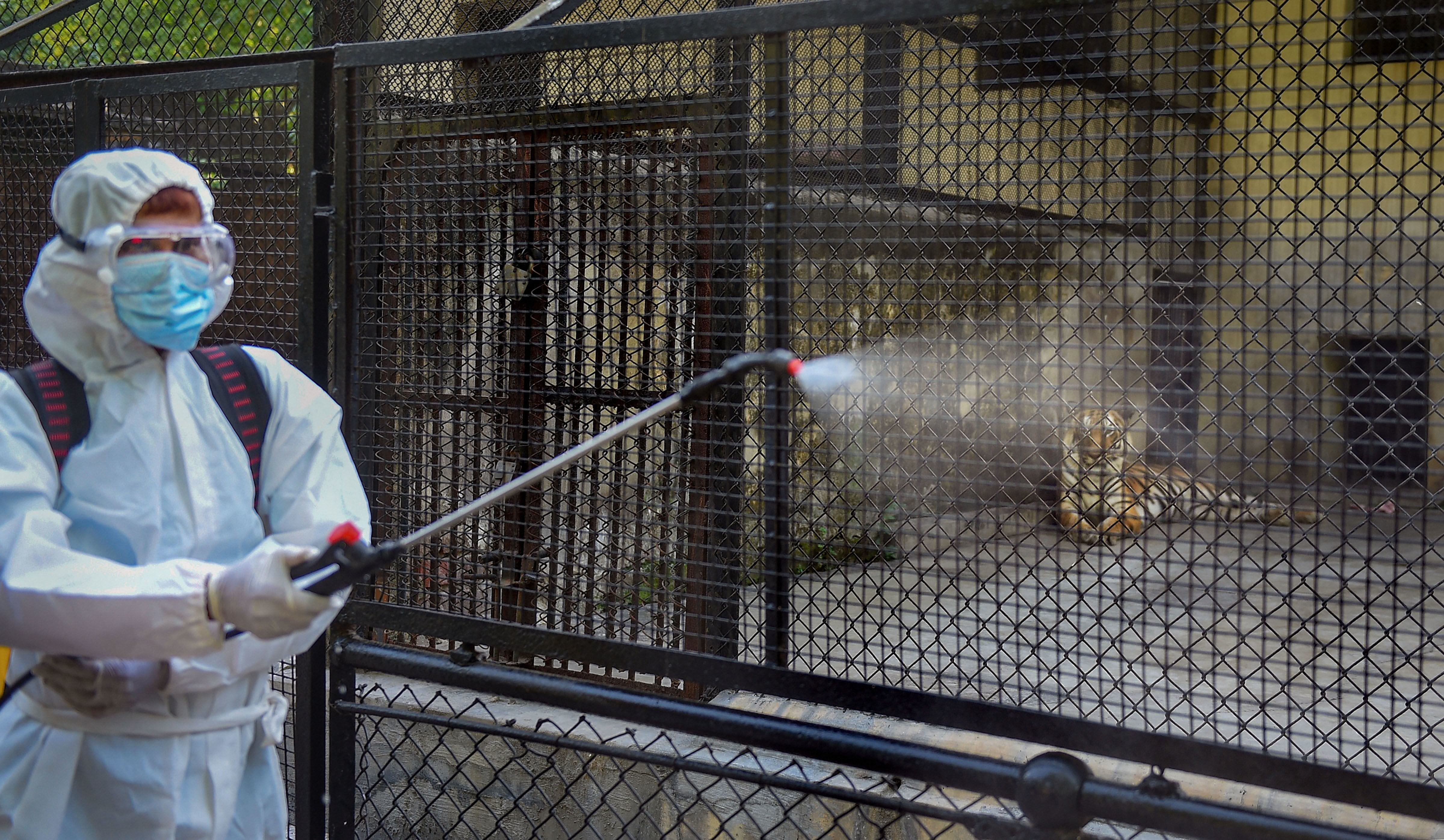 Kolkata: A worker sanitises a tiger's enclosure at the Alipore zoo during the nationwide lockdown imposed in the wake of coronavirus pandemic, in Kolkata, Monday, April 6, 2020. A four-year-old female Malayan tiger at New York's Bronx Zoo has tested positive for the coronavirus, federal officials and the zoo said Sunday. (PTI Photo/Ashok Bhaumik) (PTI06-04-2020_000157A) (PTI)