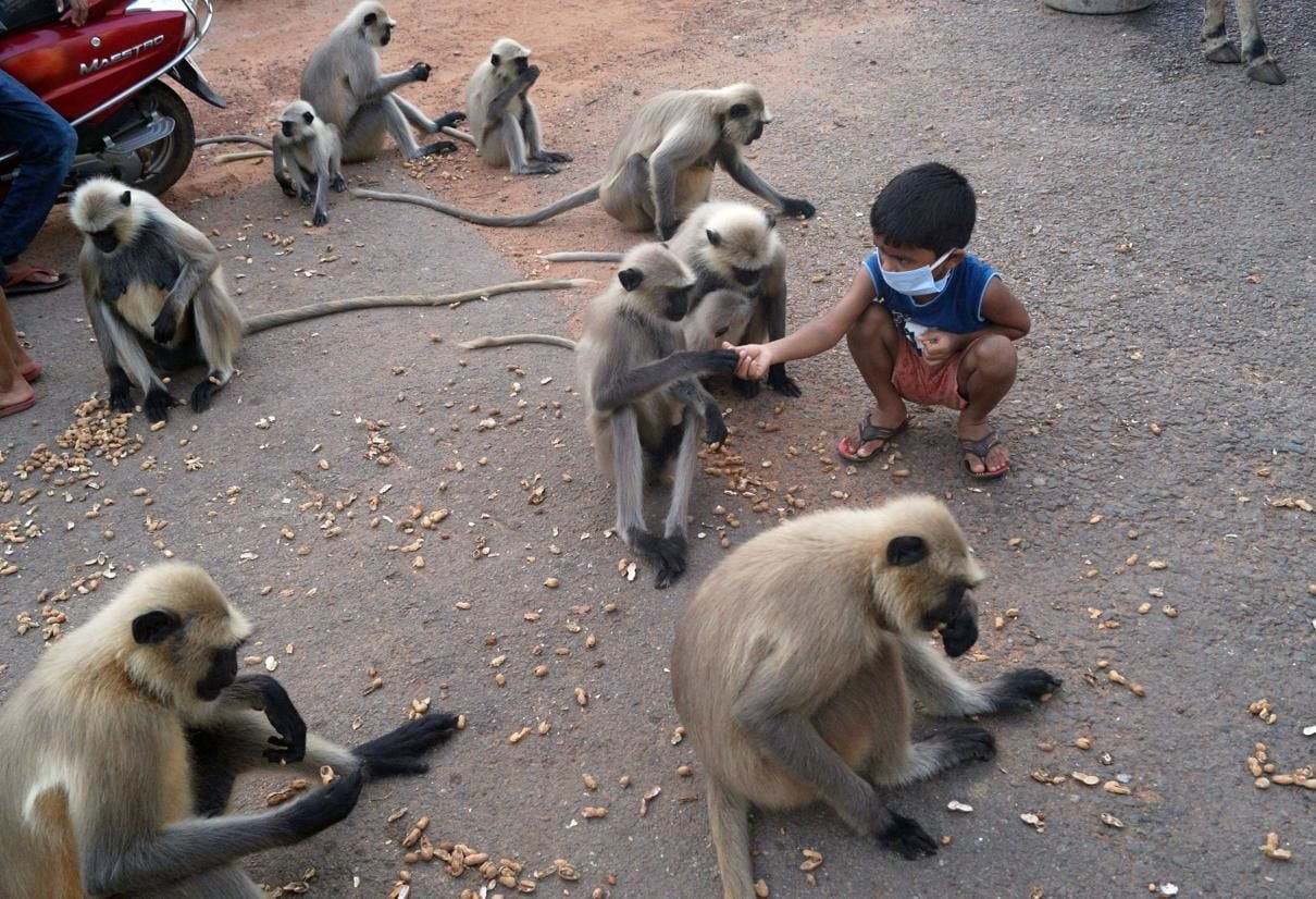 <p>Boy in Odisha gives peanuts to langurs</p>