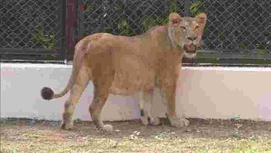 Prime facie examination indicates that the lioness died due to cardiac arrest(Twitter/@ANI)