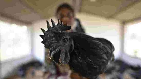 Kadaknath is much in demand in Madhya Pradesh and elsewhere given its nutritional value.(HT Photo)