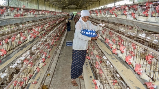 "A woman collects eggs at a poultry farm, in Karad on January 9. On January 8, Poultry Federation of India president Ramesh Khatri had said, ""There has not been an outbreak of bird flu in broiler chicken anywhere in the country. Still, their prices have fallen at farm level by up to 50% due to sentiments."" The price of eggs had also seen a drop, PTI reported.(PTI)"