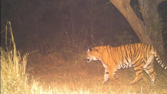 Camera trap image of tiger that was translocated to Rajaji Tiger Reserve on Saturday. (Uttarakhand forest department)