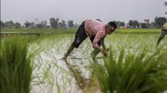 Jammu: Workers plany paddy saplings in a field at Suchetgarh of Ranbir Singh Pura sector near the India-Pakistan international border, about 25 km from Jammu on Wednesday, July 04, 2018. The government today hiked the minimum support price for paddy by a steep <span class='webrupee'>₹</span>200 per quintal as it looked to fulfil its poll promise to give farmers 50 per cent more rate than their cost of production. (PTI Photo) (PTI7_4_2018_000124B) (PTI)