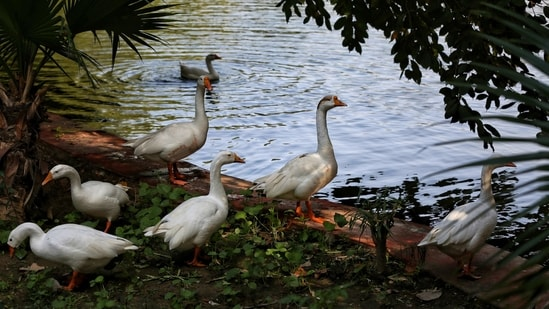 Geese seen next to a lake at Prasad Nagar in New Delhi on January 10. As of January 11, nine other Indian states have reported the outbreak: Kerala, Rajasthan, Madhya Pradesh, Himachal Pradesh, Haryana, Gujarat, Uttar Pradesh, Uttarakhand, and Maharashtra. No case among the human population has been reported until now.(Sanchit Khanna / HT Photo)
