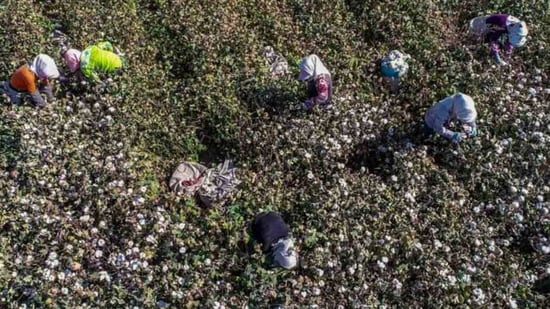 This photo taken on 14 October, 2018 shows farmers picking cotton in a field in Hami in China's northwestern Xinjiang region.(Bloomberg/ File photo)