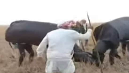 Screen grab of a video showing fight between fake buffaloes at a village in Sivasagar district of Assam on Friday.