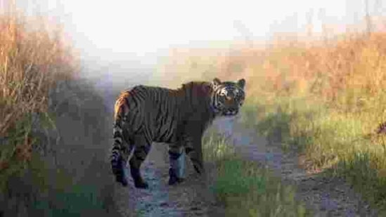 This undated photo released by Corbett Tiger Reserve shows a tiger in Corbett National Park.(AP)
