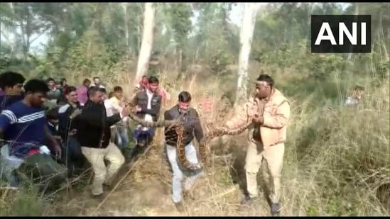 The python was rescued from the Khair area of Aligarh district.(Twitter/@ANINewsUP)