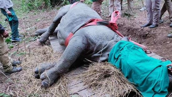 The adult male rhino that strayed out of Kaziranga National Park and Tiger Reserve in Assam after it was tranquilized on Tuesday.(KNPTR)