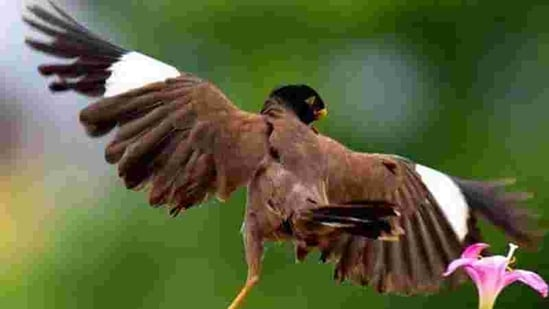 With a ballerina's poise and grace, the deformed myna braves life's challenges. PHOTO: AMI PRABAL
