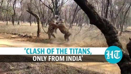 A video captured a dramatic fight between two tigers at an Indian wildlife sanctuary
