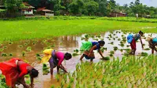 Opposition ruled states like Odisha, Chhattisgarh and Jharkhand are locked in a war of words with the BJP over procurement of paddy. (HT Archive)