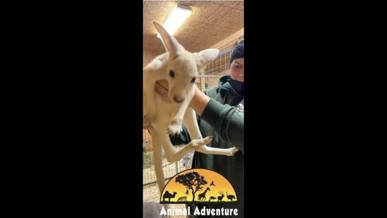 The image shows a white-furred kangaroo.(Instagram/@animaladventurepark)