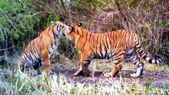 Andheria said the approximate figures from around 100 years ago show India had 40,000 tigers then, compared to which, the current numbers are very low.(HT FILE PHOTO)