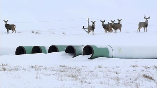 A file photo shows deer gathering at a depot used to store pipes for the planned Keystone XL oil pipeline in Gascoyne, North Dakota. (REUTERS)
