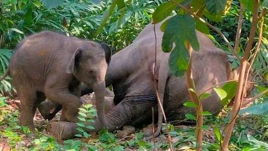 It took many hours for forest officials to remove the calf to a nearby elephant rehabilitation centre after firing sedation shots. (K Santosh/HT PHOTO).