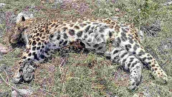 The villagers laid a trap for the leopard since it used to stray in the area,(HT FILE PHOTO.)