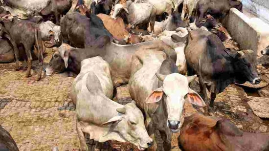 Villagers said the district administration broke the lock of the main gate of Government Primary School and shifted the cows. (Representational image/HT Photo)