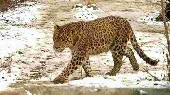 After the attack, locals present at the spot made a noise due to which the leopard went back to the forest area, but angry locals protested till evening with the deceased's body on the road.(HT PHOTO.)