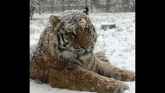 Take a look at how various animals, from a tiger to an ostrich, reacted to their home being engulfed in snow.(Instagram/@zslwhipsnadezoo)