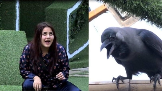 Shehnaaz Gill once had a full duet with a crow on Bigg Boss.