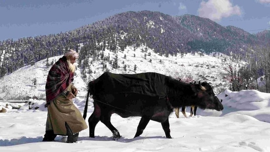 An elderly man taking his buffalo from Kokernag hills on a snow-covered field, in Kashmir on Wednesday.(ANI Photo )