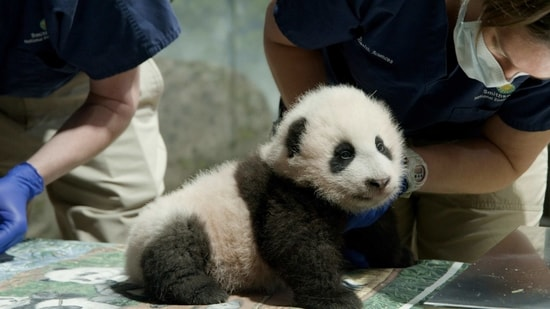 This handout photo released by the Smithsonian's National Zoo shows a panda cub named Xiao Qi Ji in Washington. The National Zoo has struck a new extension of its longstanding agreement with the Chinese government that will keep the zoo's iconic giant pandas in Washington for another three years. (AP)