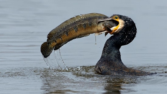A Great Cormorant with its catch. (Photo by Rathika Ramasamy)