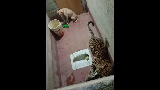 The image shows the dog and the leopard trapped inside a toilet.(Sourced)