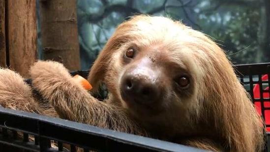 The image shows a sloth named Jabba.(Instagram/@philadelphiazoo)