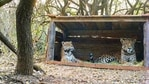 Tania (L), a female jaguar brought up in a zoo, and a male jaguar christened Qaramta, sit together in a breeding enclosure at the Impenetrable National Park,(via REUTERS)