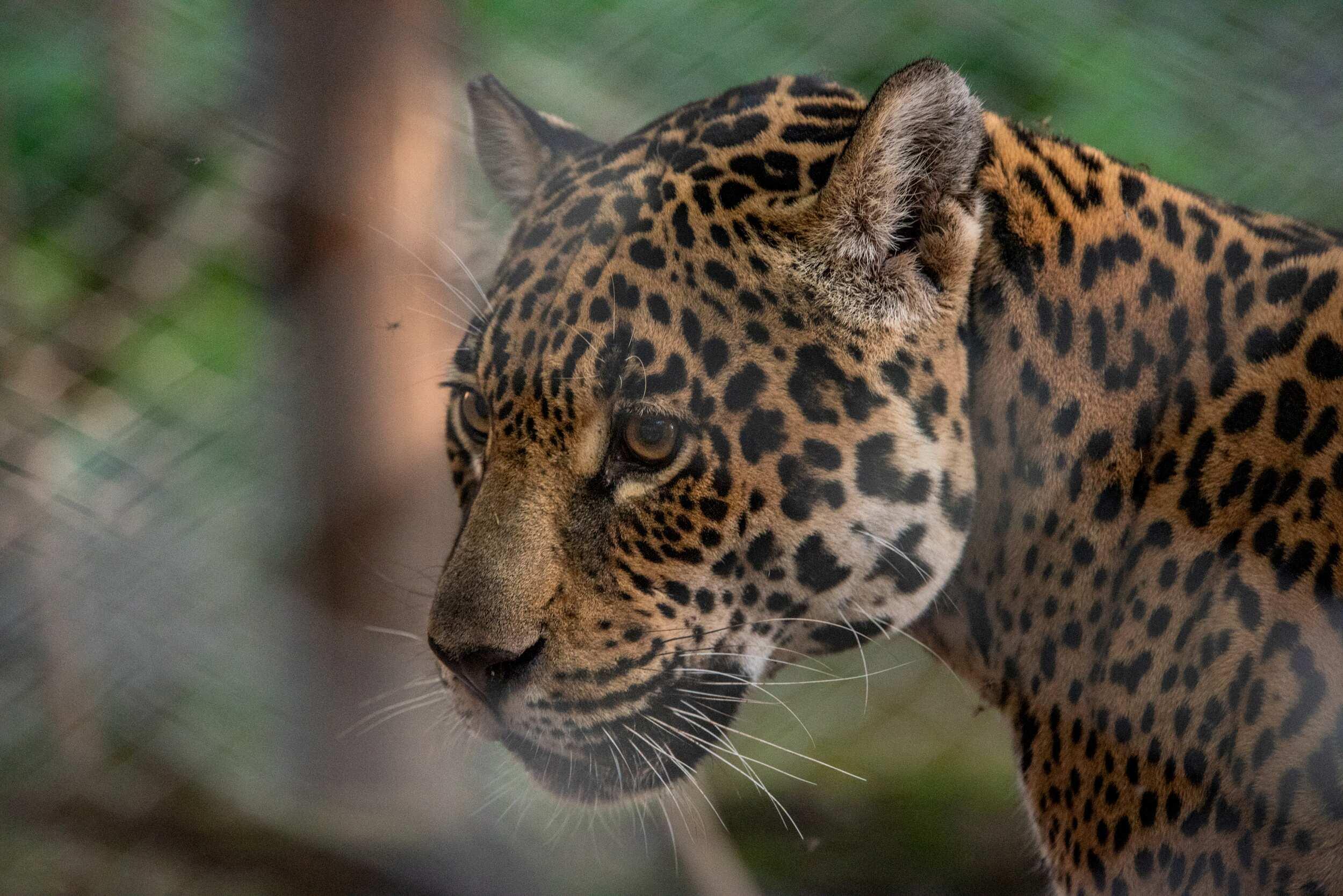 Tania, una mujer jaguar que creció en un zoológico (vía REUTERS)