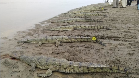 Gharials set to be released into the Beas river in Hoshiarpur district on Friday. The number of gharials released under the conservation project has now reached 70. (HT Photo)
