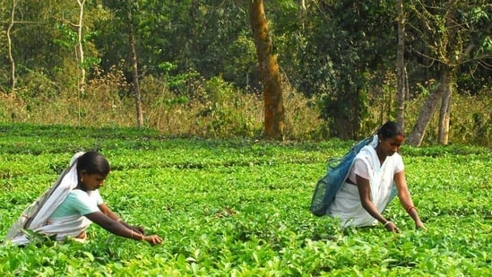 Tea planters from Bihar's Kishanganj and adjoining districts have sought exemption from the land ceiling for individual planters.(Representational photo)