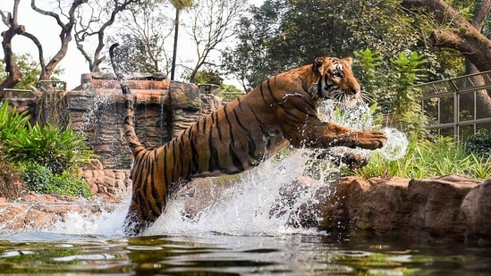Mumbai: A Royal Bengal Tiger jumps from a pond inside an enclosure at the Byculla Zoo in Mumbai, Monday, Feb. 15, 2021. The zoo reopened on Monday after 11 months of closure due to the coronavirus pandemic. (PTI Photo/Kunal Patil)(PTI02_15_2021_000038A)(PTI)