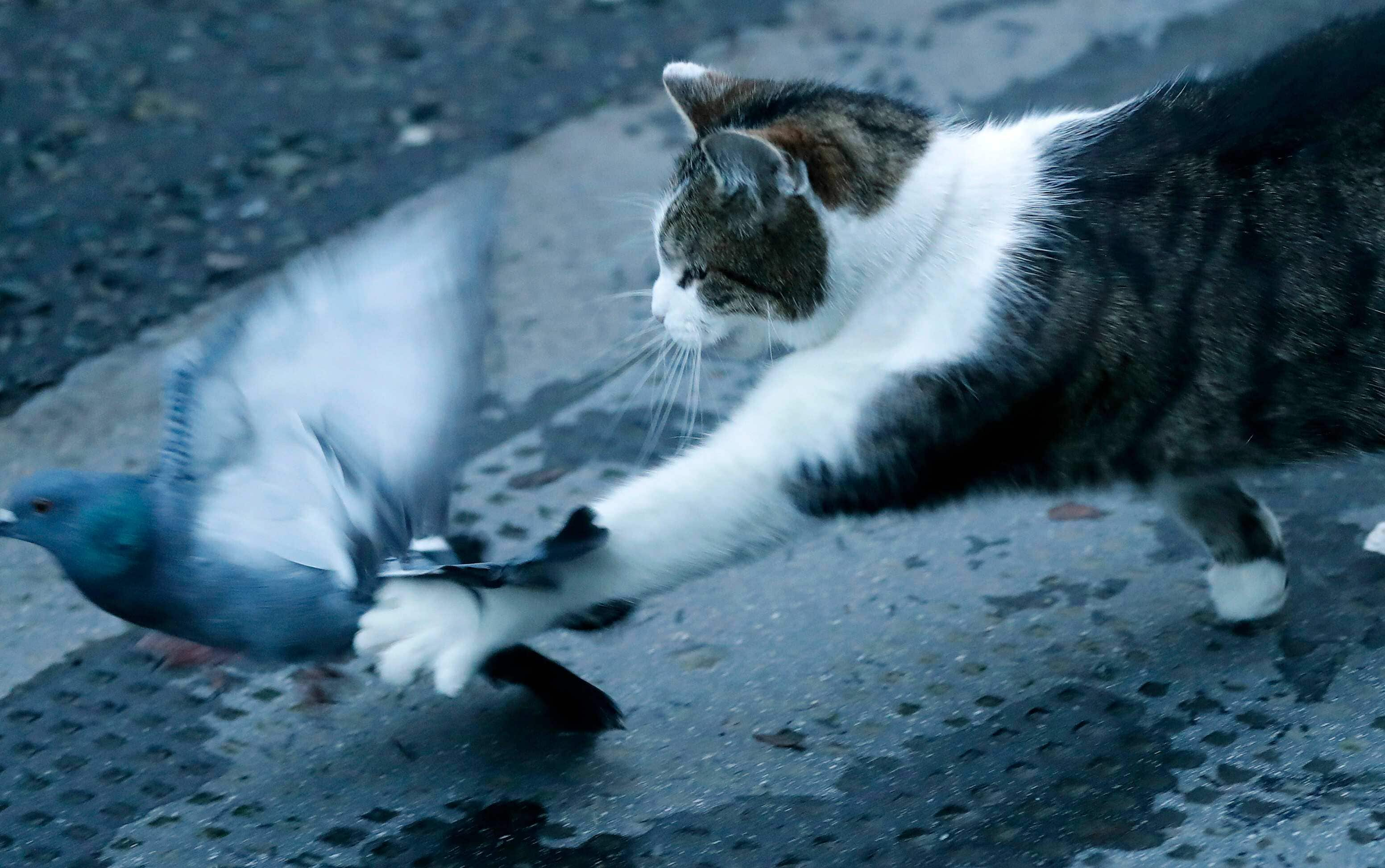Larry the cat, Chief Mouser to the Cabinet Office catches a pigeon as journalists await results of the Brexit trade deal in Downing Street in London. Monday, Feb. 15, 2021 marks the 10th anniversary of rescue cat Larry becoming Chief Mouser to the Cabinet Office in a bid to deal with a rat problem at 10 Downing Street. (AP)