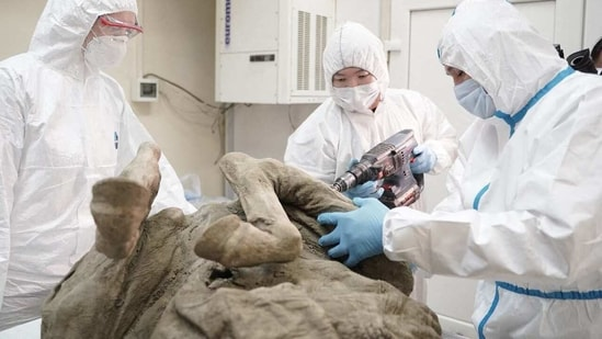 This handout picture released by the North-Eastern Federal University in Yakutsk on February 16, 2021, shows researchers extracting tissues from a prehistoric horse believed to be at least 4,500 years old.(AFP)