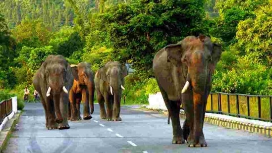 Elephants in Karlapat wildlife sanctuary of Kalahandi district have succumbed to haemorrhagic septicaemia.(HT archive)