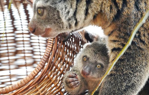 The image shows baby of the highly endangered Indonesian cuscus bear with its mother Duzy.(AP)
