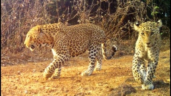 A total of five leopards will be radio-collared and tracked at SGNP.