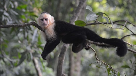The researchers developed and annotated a reference assembly for white-faced capuchin monkeys (Cebus imitator) to explore the evolution of these traits.(Unsplash)