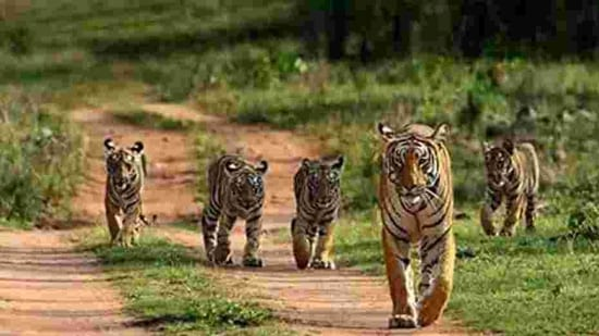 The Delhi zoo, which is closed until January 31 because of Covid-19 restrictions, currently has a pair of normal coated tigers and five white tigers.(HT photo)