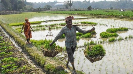 The government hopes to cover an estimated 10.5 million paddy growers this year, against last year's 10.2 million.(PTI file photo)