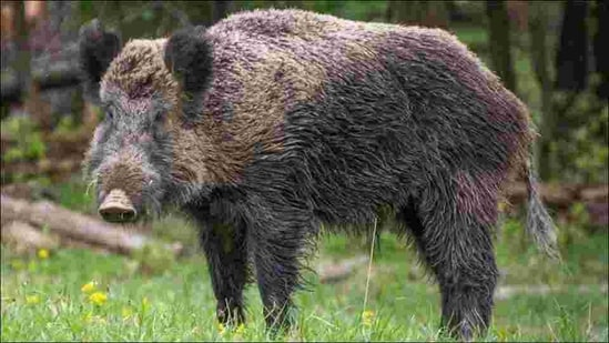 Conservationists and officials conclude that the population of the wild boars has increased based on the increased sightings of the wild animal in central and north Kashmir since 2018.(Image via Twitter)
