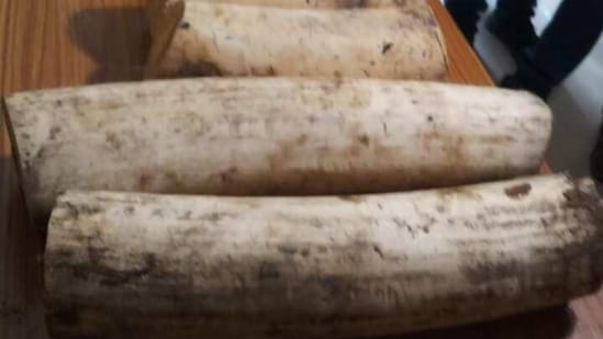 Forest officials are investigating to establish the source of these ivories.