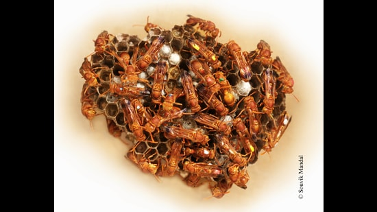 Since every wasp, including the queen, in the Ropalidia marginata colony is born identical, Dr Raghavendra Gadagkar and his team of research students colour code each individual. (Souvik Mandal)