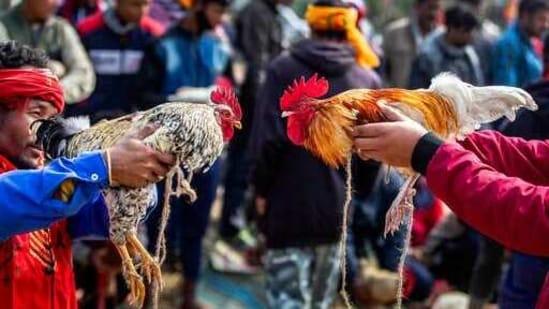 Cockfights are banned but still common in rural areas of Telangana, Andhra Pradesh, Karnataka and Odisha states (AP Photo/Anupam Nath)(AP)