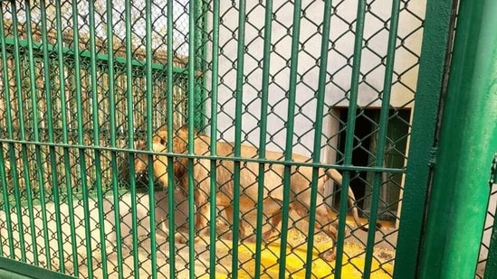 Akhilesh said the chief minister should have made some other arrangement to bring lions to Gorakhpur zoo.